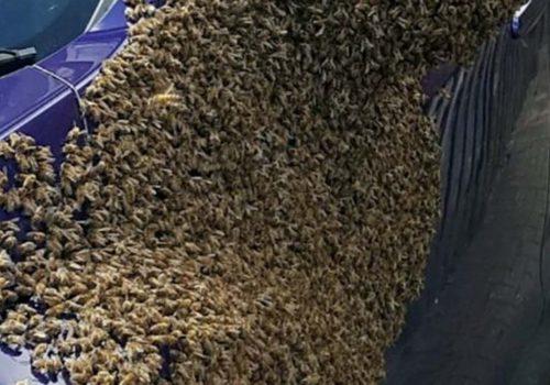 İngiltere'de bir arabaya binlerce arı üşüştü