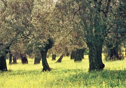 Commission omits controversial article on olive groves from draft law