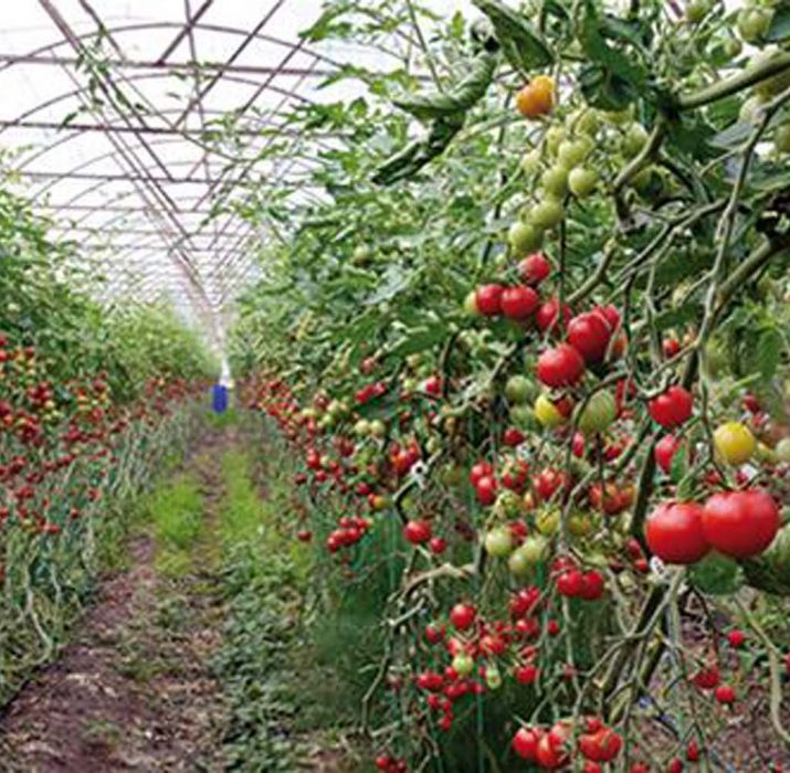 Belarus becomes top tomato importer from Turkey's Antalya amid Russia ban