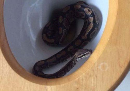 İngiltere'de evin tuvaletinden yılan çıktı