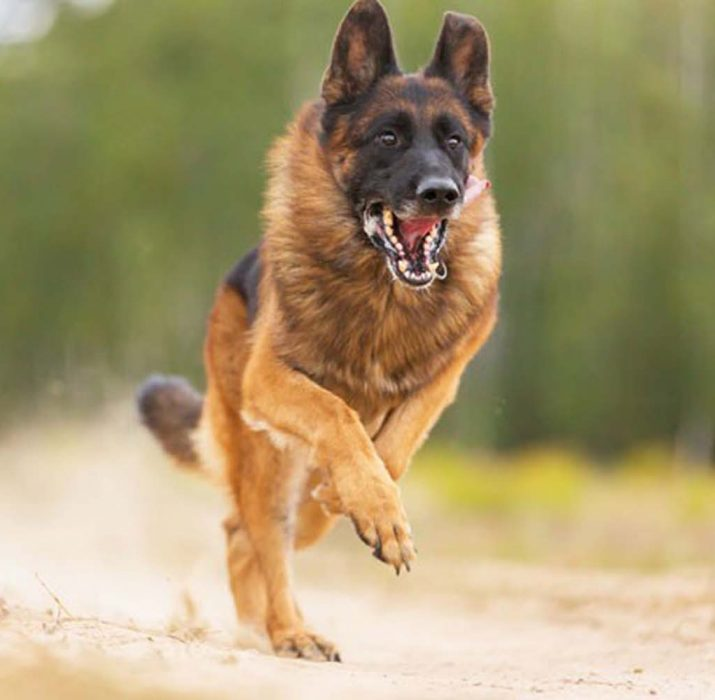 Bazı köpekler neden sahiplerine saldırır?