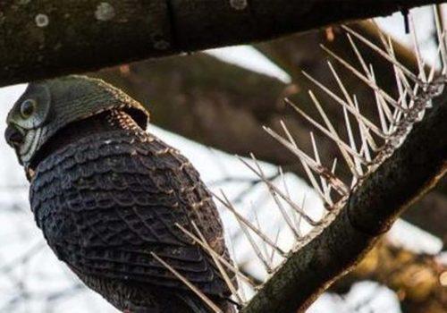 Kuşlar dallara konmasın diye ağaçlara dikenli tel astılar!