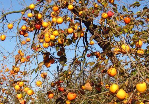 Manisa'dan İngiltere'ye Cennet Elması