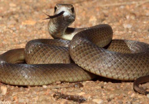 Dünyanın en zehirli ikinci yılanı tarafından ısırıldı