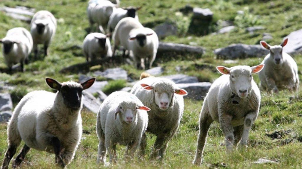 Koyunlar köyün altını üstüne getirdi