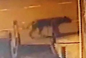 Sokakta dolaşan aslanı görünce şok yaşadı