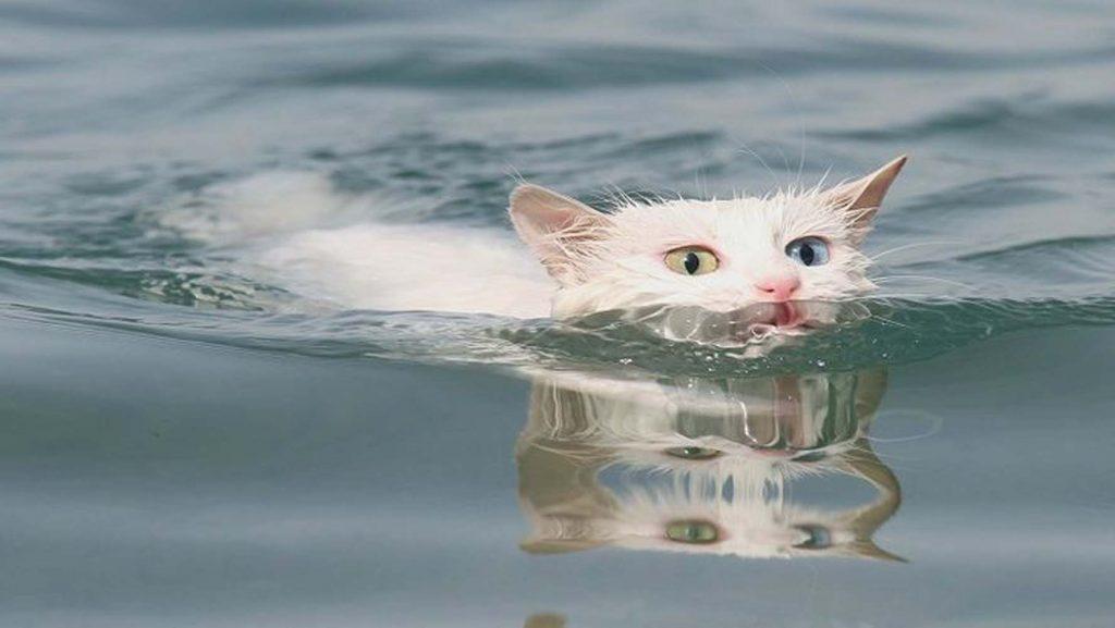 Yüzen Van kedileri İngiliz basınında