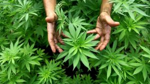 Medical cannabis will be available from November in UK