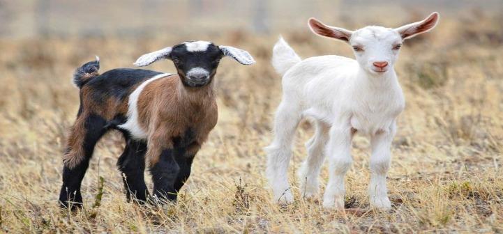 Keçiler, mutlu yüz ifadeli insanlara daha çok yakınlık duyuyor