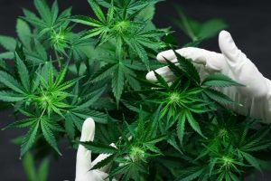 Cannabis to be legalised