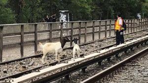New York'ta 'mezbahadan kaçan' keçiler metro seferlerini aksattı