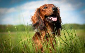 Köpekler kanser teşhisinde kullanılacak