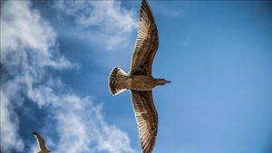 Dünyanın en büyük kuşu: Vorombe titan