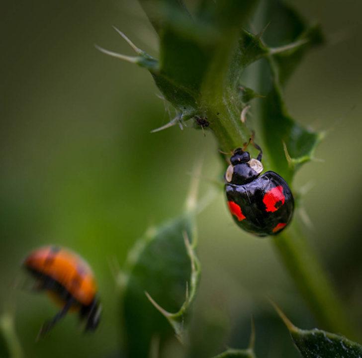 İngiltere uğur böceği istilasına uğradı