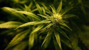 Marihuana spermde genetik değişikliklere yol açıyor