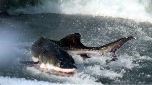 Çin, 6 bin mersin balığının ölümü üzerine köprü inşaatını durdurdu