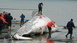 Japonya balina avcılığına hâlâ devam ediyor