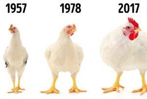 900 gramlık tavuklar 4,2 kiloya çıktı!