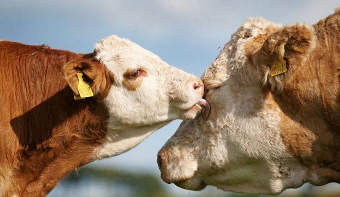 İngiltere'de inekler için online arkadaşlık sitesi kuruldu