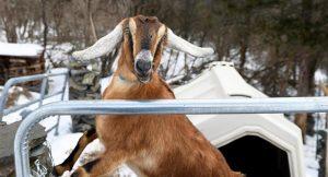 """ABD'de keçiye """"fahri belediye başkanı"""" unvanı"""