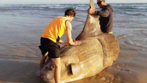 Sahile vuran yaklaşık 2 metrelik güneş balığı viral oldu