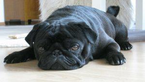 Vergi borcu olan ailenin köpeği haciz edilip internette satıldı