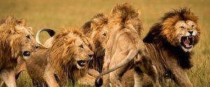 Güney Afrika'da bir kaçak avcıyı fil öldürdü, aslanlar yedi