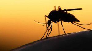 Genetiği değiştirilmiş mantarlar, sıtma taşıyan sivrisinekleri hızla öldürebiliyor