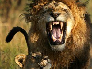 """14 aslan kaçtı, yetkililer """"Evlerinizden çıkmayın"""" uyarısı yaptı"""