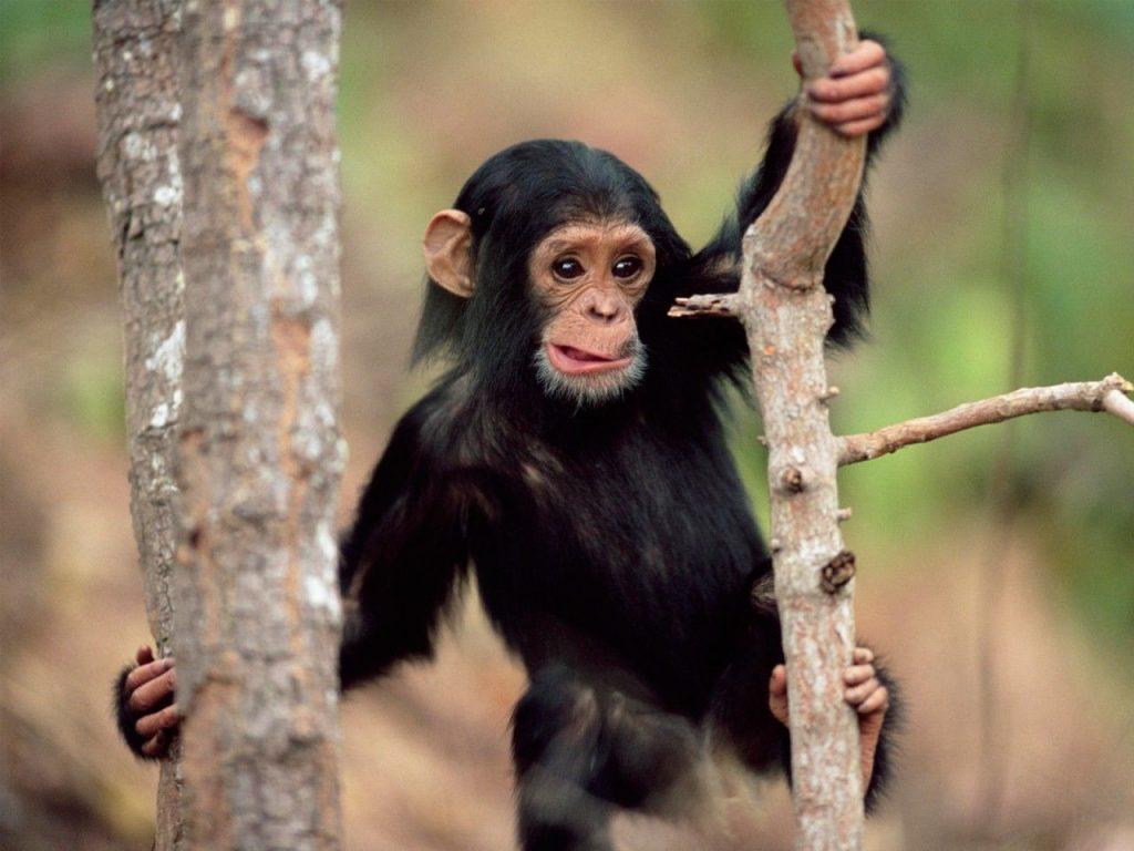 'İngiltere'de bazı zenginler düğünlerde şempanze eti yiyor' iddiası…