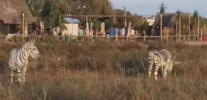 Safari temalı düğünde iki eşek zebra gibi boyandı, soruşturma başlatıldı