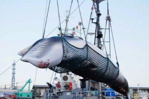Japonya, 31 yıl sonra ticari amaçlı balina katliamına geri döndü
