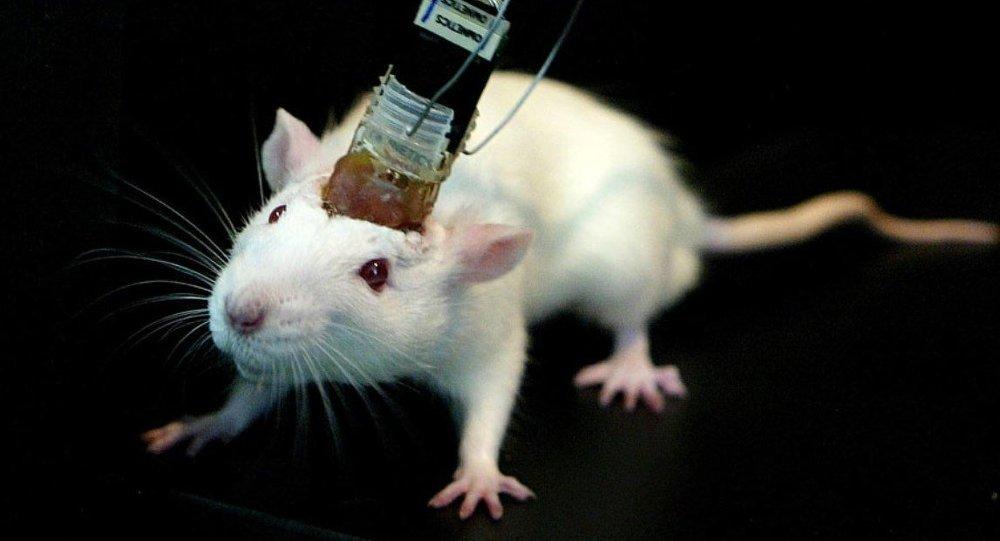 Japonya da hayvan vücudunda insan organı büyütmeye izin verdi