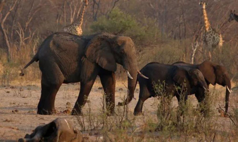 Kuraklık sebebiyle Zimbabve'de 200'den fazla fil öldü