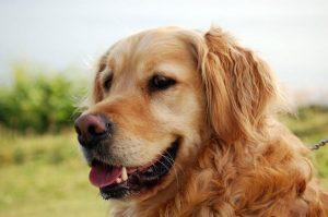 Londra'da 32 bin pound yıllık maaşla köpek bakıcısı ilanı