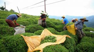 Türkiye'de çay üretimi Economist dergisinde