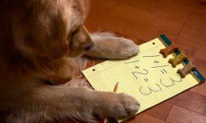 Araştırmalar köpeklerin matematikte başarılı olduğunu kanıtladı