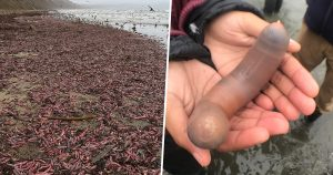 Binlerce 'penis balığı' Kaliforniya'da kıyıya vurdu