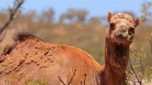 Avustralya'da binlerce deve itlaf edilecek