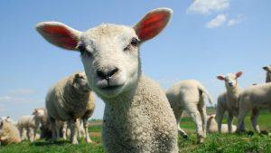 İngiltere'de organize koyun hırsızlığı