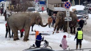 Sirkten kaçan filler şehre indi
