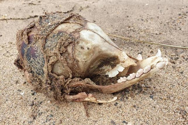 Lincolnshire'da kıyıya vuran gizemli kafatasıtartışma yarattı