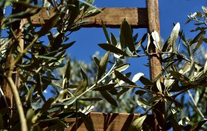 UK restricts olive tree imports to halt infection