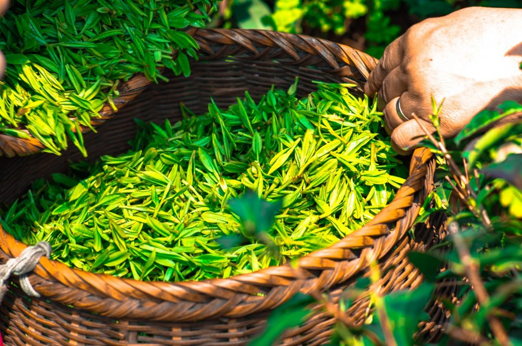 A daily cup of green tea could be the answer to food allergies