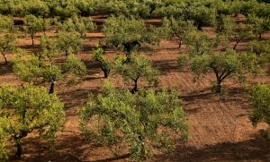 Deadly olive tree disease across Europe 'could cost billions'