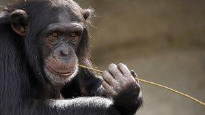 """""""İnsanlar maymunlara Koronavirüs bulaştırabilir"""""""