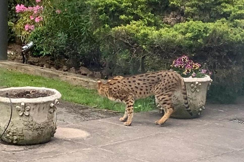 'Big cat' spotted on the loose in north London gardens