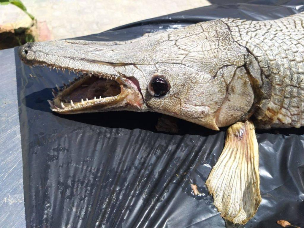 KKTC'de Gönyeli Barajı kıyısında timsah balığı bulundu