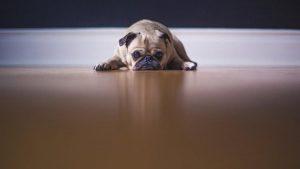 İngiltere'de koronavirüs hayvanseverleri bulldog ve pug cinsine yöneltti
