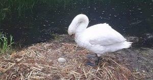 İngiltere'de yuvası ve yumurtaları dağıtılan kuğu üzüntüden öldü